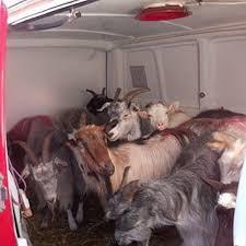 Rinvenuto furgone carico di animali. Un denunciato.