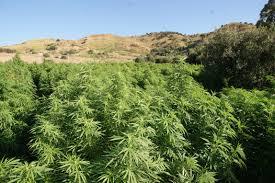 A seguito di incidente stradale ad Albano si scopre una piccola serra di marijuana