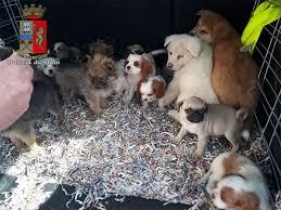 Pian del Voglio: Polizia di Stato, salvati 26 cuccioli