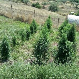 La Polizia di Stato individua coltivatore di piante di marijuana: ad arrestarlo i poliziotti del Commissariato di P.S di Barcellona P.G.