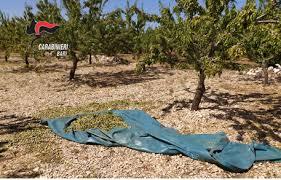 Ruvo di Puglia (Ba). Rubano 4 quintali di mandorle: 2 arresti